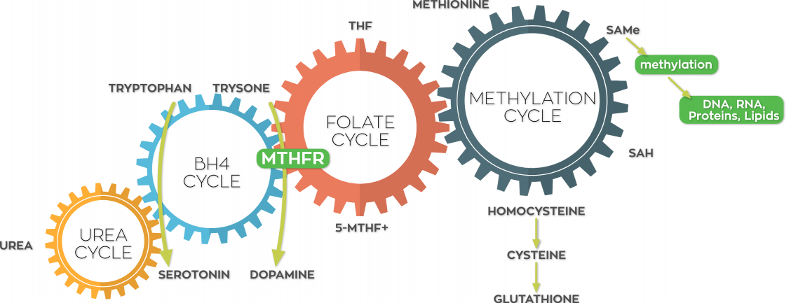 the MTHFR lifestyle matters because of the way these cycles all interconnect.
