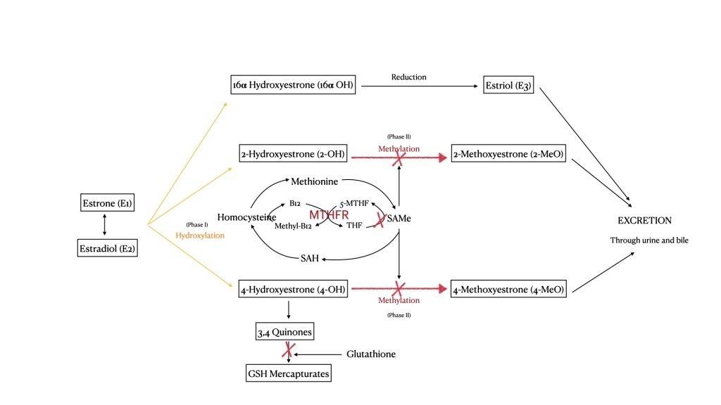 MTHFR and estrogen - the estrogen interconversions