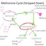MTHFR and homocysteine are linked through the methionine cycle